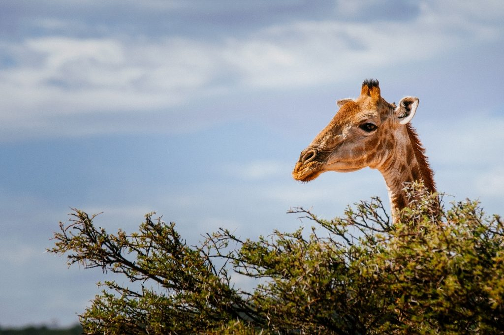 Photo of a Giraffe looking over a tree, only the head and neck can been seen