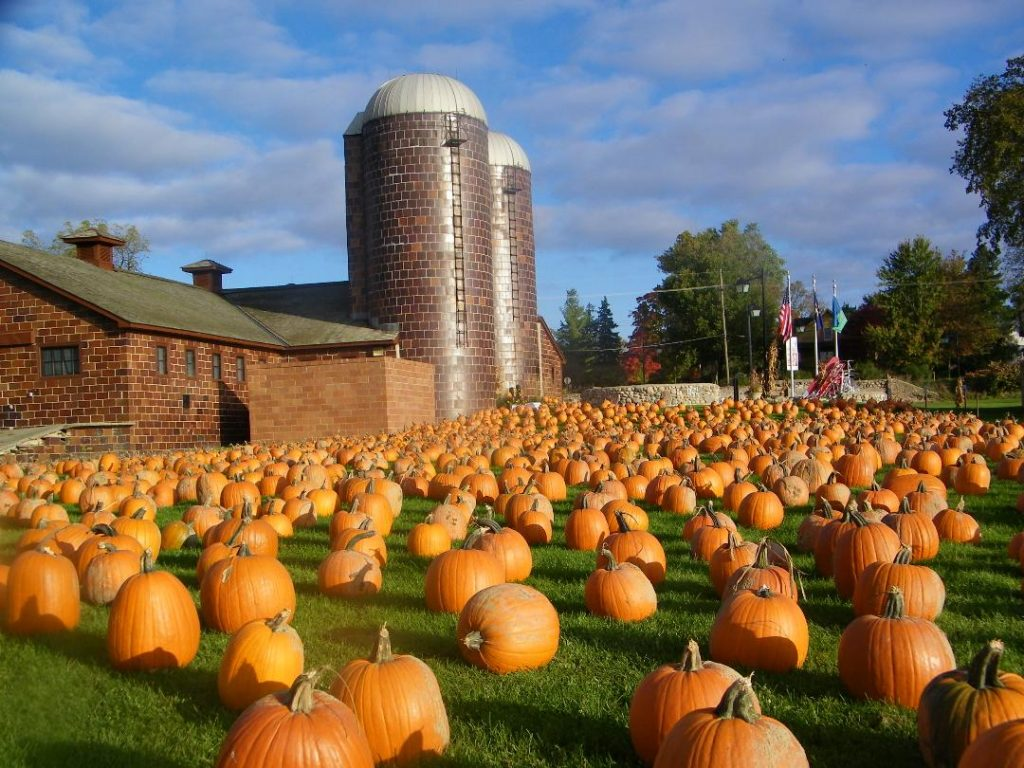 Hundreds of pumpkins on the lawn of the farm