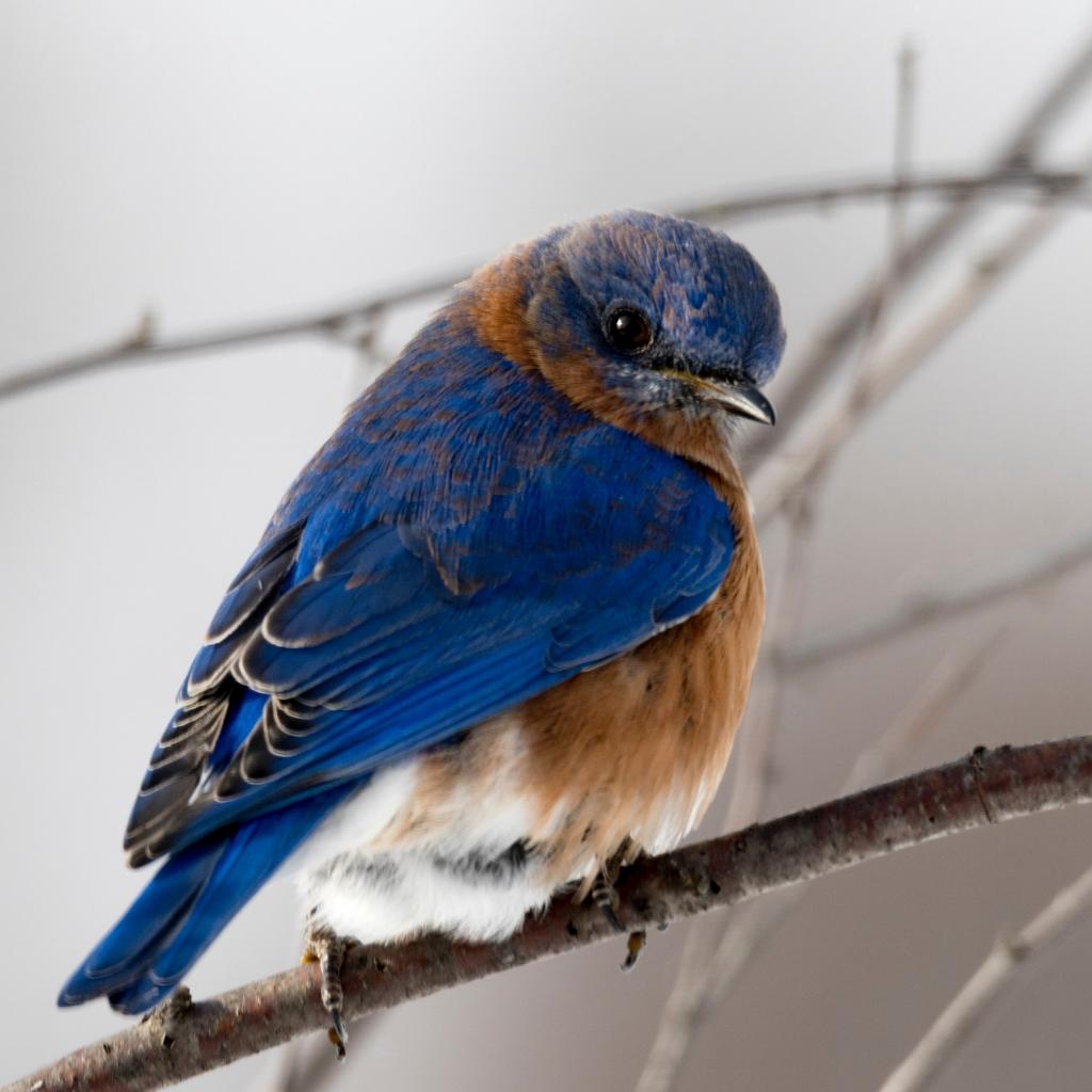 Blue bird sits on a branch